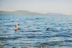 Seagulls äter smällare Arkivfoton