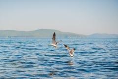 Seagulls äter smällare Royaltyfri Fotografi