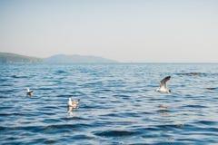 Seagulls äter smällare Royaltyfria Foton