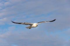Seagulls över det vita havet Arkivbilder