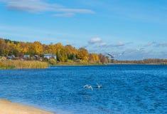 Seagulls över floden Royaltyfri Foto