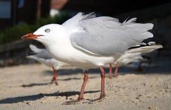 seagulls άμμου στοκ εικόνες