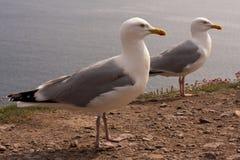 seagulls απότομων βράχων Στοκ φωτογραφίες με δικαίωμα ελεύθερης χρήσης