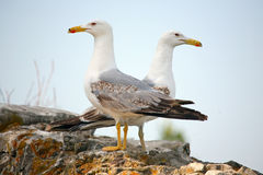 seagulls δύο τοίχος Στοκ Εικόνα