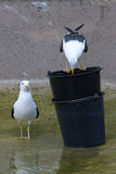 seagulls δύο ύδωρ Στοκ Φωτογραφία