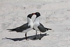Seagulls ερωτευμένα Στοκ φωτογραφίες με δικαίωμα ελεύθερης χρήσης