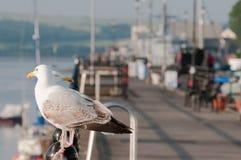 Seagulls θαλασσίως Στοκ Εικόνες