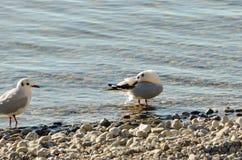 Seagulls καθαρίζουν σε μια λίμνη σε μια παραλία 10 πετρών Στοκ Εικόνα