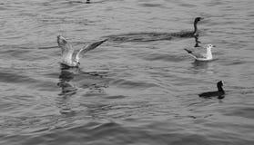 Seagulls και κορμοράνοι που επιπλέουν στη θάλασσα Στοκ Εικόνες