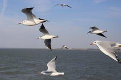 Seagulls κατά την πτήση Στοκ φωτογραφίες με δικαίωμα ελεύθερης χρήσης