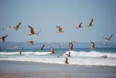 Seagulls κατά την πτήση Στοκ Εικόνα