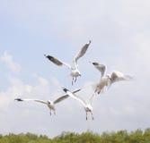 Seagulls κατά την πτήση Στοκ Φωτογραφίες