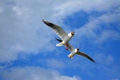 Seagulls κατά την πτήση στοκ φωτογραφία με δικαίωμα ελεύθερης χρήσης