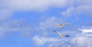 Seagulls κατά την πτήση Στοκ εικόνα με δικαίωμα ελεύθερης χρήσης