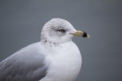 Seagulls κινηματογράφηση σε πρώτο πλάνο Στοκ φωτογραφίες με δικαίωμα ελεύθερης χρήσης