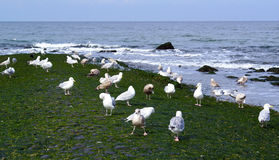 seagulls κοπαδιών παραλιών Στοκ Εικόνες