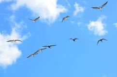 seagulls κοπαδιών πτήσης Στοκ εικόνα με δικαίωμα ελεύθερης χρήσης