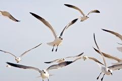 seagulls κοπαδιών Στοκ Εικόνα