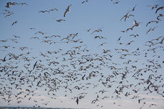 seagulls κοπαδιών Στοκ εικόνες με δικαίωμα ελεύθερης χρήσης