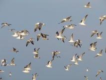seagulls κοπαδιών Στοκ Εικόνες