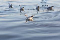 Seagulls κοπαδιών που στηρίζονται στην επιφάνεια νερού Στοκ Φωτογραφία