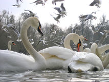 seagulls κύκνοι στοκ φωτογραφία με δικαίωμα ελεύθερης χρήσης
