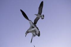 Seagulls Μαϊάμι Μπιτς στοκ εικόνα με δικαίωμα ελεύθερης χρήσης