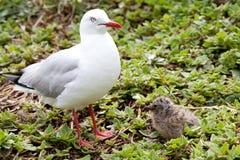Seagulls μητέρων και μωρών Στοκ φωτογραφία με δικαίωμα ελεύθερης χρήσης
