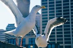 seagulls μυγών Στοκ εικόνες με δικαίωμα ελεύθερης χρήσης