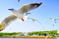 Seagulls μύγα όπως κάνουν ένα airshow Στοκ φωτογραφίες με δικαίωμα ελεύθερης χρήσης