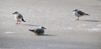seagulls πάγου στοκ φωτογραφία με δικαίωμα ελεύθερης χρήσης