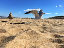 seagulls παραλιών Στοκ Φωτογραφίες