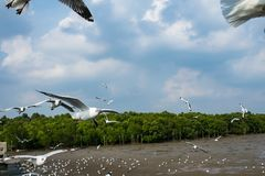 Seagulls πουλί στη θάλασσα Bangpu Samutprakarn Ταϊλάνδη Στοκ Εικόνες