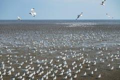 Seagulls πουλί στη θάλασσα Bangpu Samutprakarn Ταϊλάνδη Στοκ Φωτογραφίες