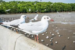 Seagulls πουλί στη θάλασσα Bangpu Samutprakarn Ταϊλάνδη Στοκ φωτογραφία με δικαίωμα ελεύθερης χρήσης