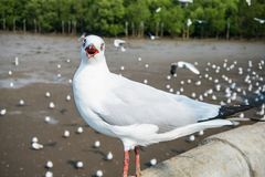 Seagulls πουλί στη θάλασσα Bangpu Samutprakarn Ταϊλάνδη στοκ φωτογραφίες με δικαίωμα ελεύθερης χρήσης