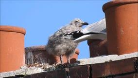 Seagulls πουλιών πουλιών μωρών μωρών seagull τοποθεμένος οικογένεια καπνοδόχων στεγών στεγών φωλιών απόθεμα βίντεο