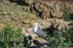 Seagulls πουλιών στα νησιά στοκ φωτογραφία με δικαίωμα ελεύθερης χρήσης