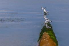 Seagulls που κάθονται σε έναν σωλήνα στον ποταμό Στοκ Εικόνες