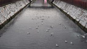 Seagulls που κολυμπούν στο κανάλι απόθεμα βίντεο