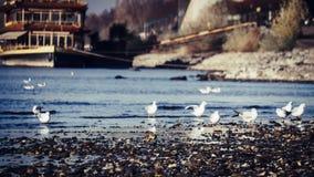 Seagulls που περπατούν στο νερό του ποταμού του Ρήνου μια όμορφη ημέρα το φθινόπωρο στοκ εικόνες