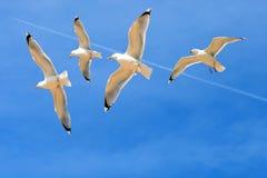 Seagulls που πετούν ενάντια σε έναν μπλε ουρανό Στοκ Φωτογραφία