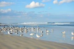 Seagulls που χαλαρώνουν στην όμορφη παραλία Στοκ Εικόνα