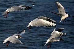 seagulls πτήσης κολάζ Στοκ Εικόνες