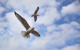 seagulls πτήσης Στοκ Εικόνα