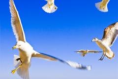 seagulls πτήσης Στοκ εικόνες με δικαίωμα ελεύθερης χρήσης