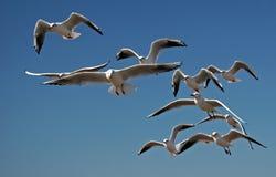 seagulls πτήσης Στοκ εικόνα με δικαίωμα ελεύθερης χρήσης