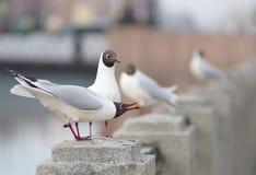 Seagulls σε έναν φράκτη γρανίτη του ποταμού, τον έναν που παρουσιάζεται τα τρόφιμα για άλλο, στην απόσταση που βλέπει άλλα πουλιά Στοκ Φωτογραφίες