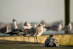 Seagulls σε μια γέφυρα Στοκ Φωτογραφία