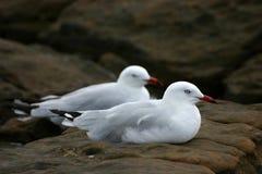seagulls στήριξης Στοκ φωτογραφία με δικαίωμα ελεύθερης χρήσης